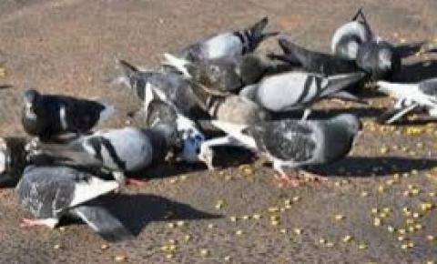 Doença do pombo preocupa profissionais do HDT